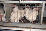 Hens inside battery farm cage