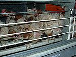 Hens trapped in cages